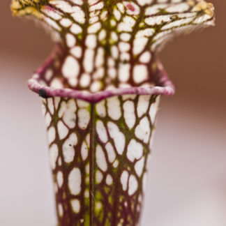 White-top Pitcher Plants