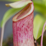 nepenthes, biflora, tropical pitcher plant