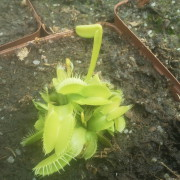 Venus Flytrap All Green Giant